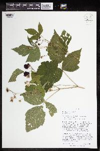 Rubus caesius image