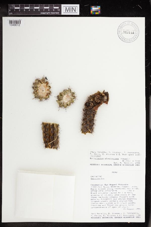 Cleistocactus plagiostoma image