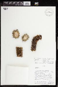 Image of Cleistocactus plagiostoma