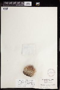 Coryphantha vivipara var. deserti image