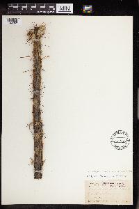 Cylindropuntia davisii image