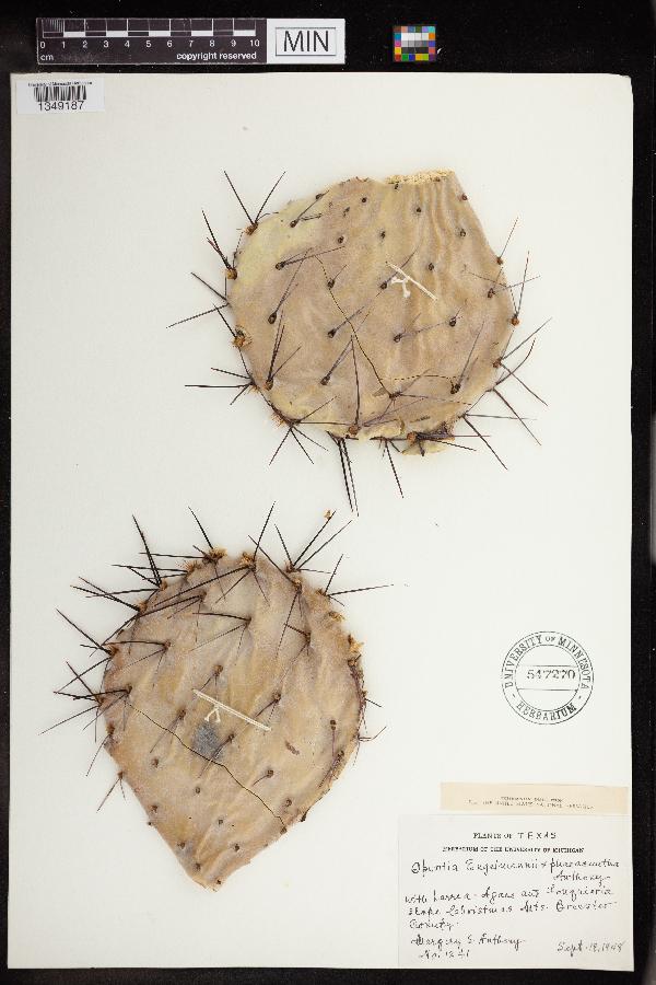 Opuntia engelmannii x phaeacantha image