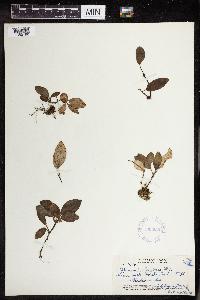 Peperomia latifolia image