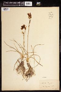 Anthericum liliago image
