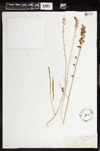 Hastingsia alba image