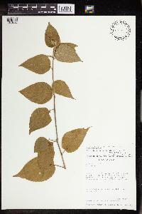 Image of Acalypha chordantha