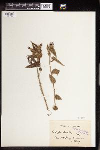 Image of Acalypha brachiata
