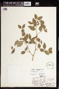 Image of Chamaesyce arnottiana