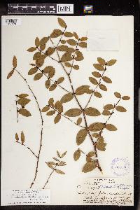 Chamaesyce arnottiana image