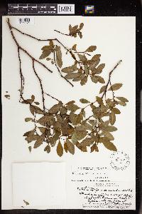 Image of Chamaesyce atrococca