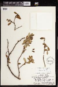 Chamaesyce celastroides image