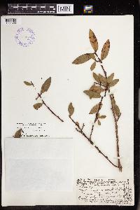 Image of Chamaesyce celastroides