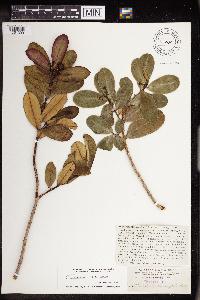 Image of Chamaesyce clusiifolia