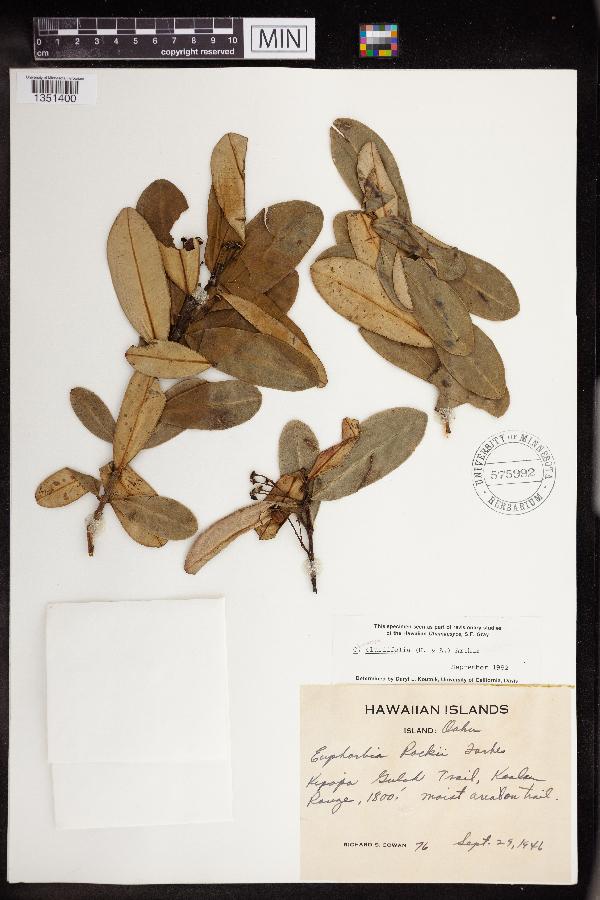 Chamaesyce clusiifolia image