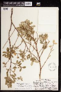 Image of Chamaesyce multiformis