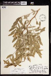 Chamaesyce multiformis image