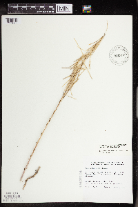 Boechera collinsii image