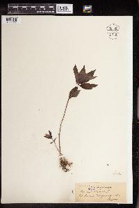 Mercurialis perennis image