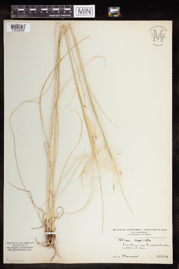 Stipa capillata image