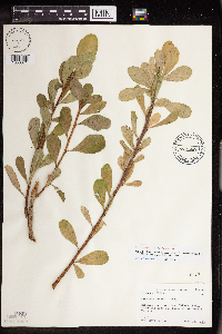 Jatropha dioica image