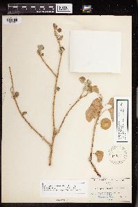 Image of Jatropha canescens