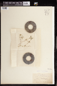 Euphorbia bilobata image