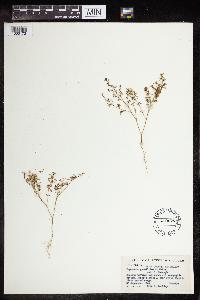Chamaesyce gracillima image