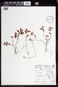 Chamaesyce hirta image