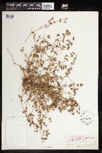 Euphorbia ocellata image