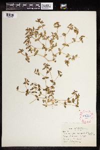 Chamaesyce arenicola image