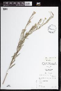 Erysimum inconspicuum image