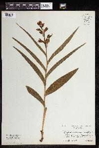 Cephalanthera longifolia image