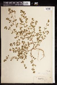 Chamaesyce nashii image