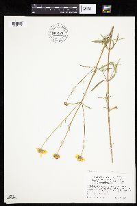 Heliomeris multiflora image
