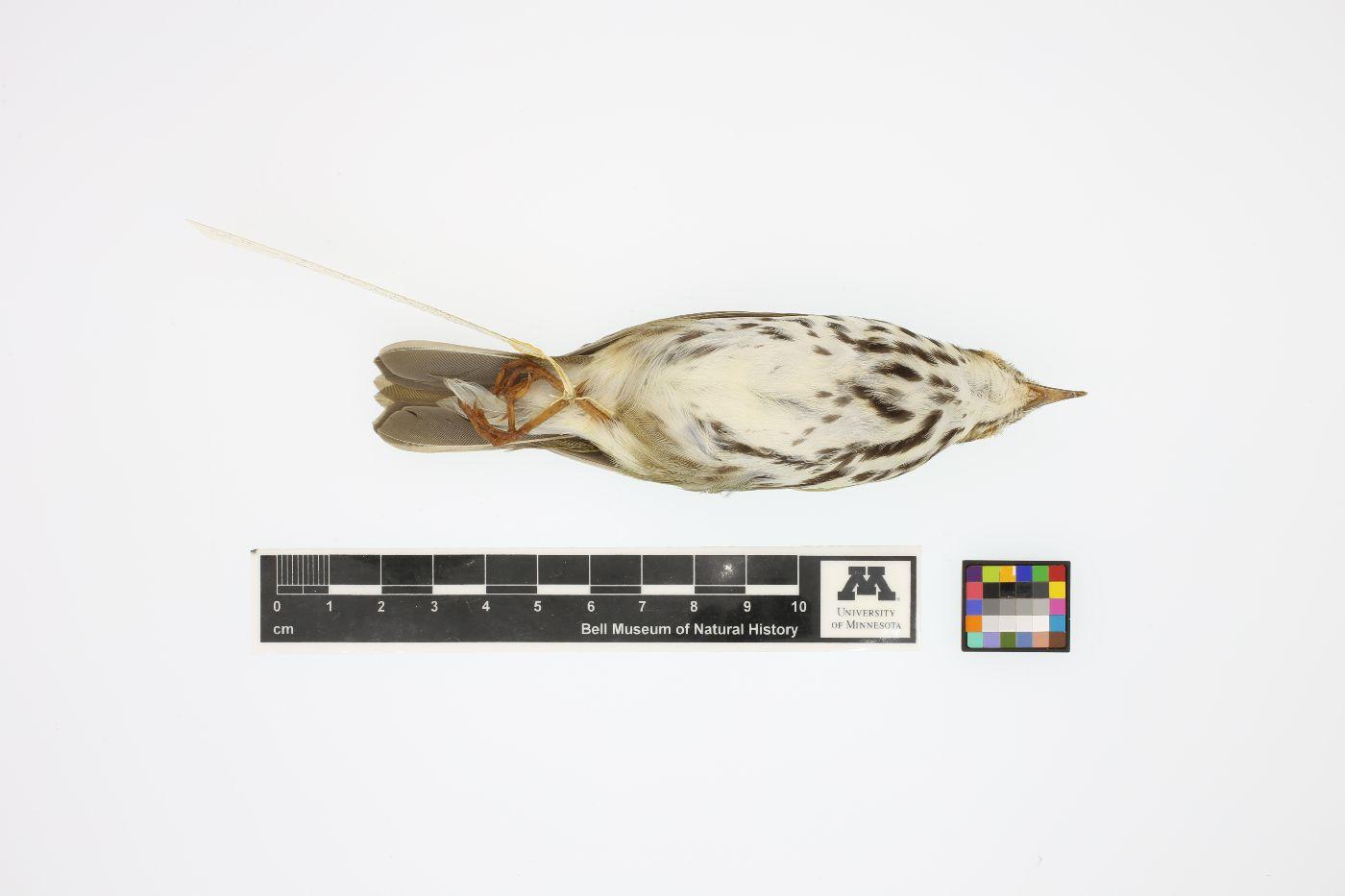 Seiurus aurocapillus image