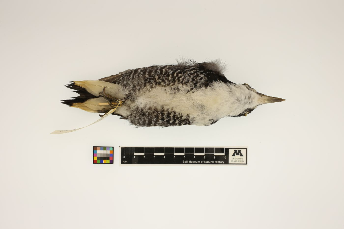 Picoides arcticus image