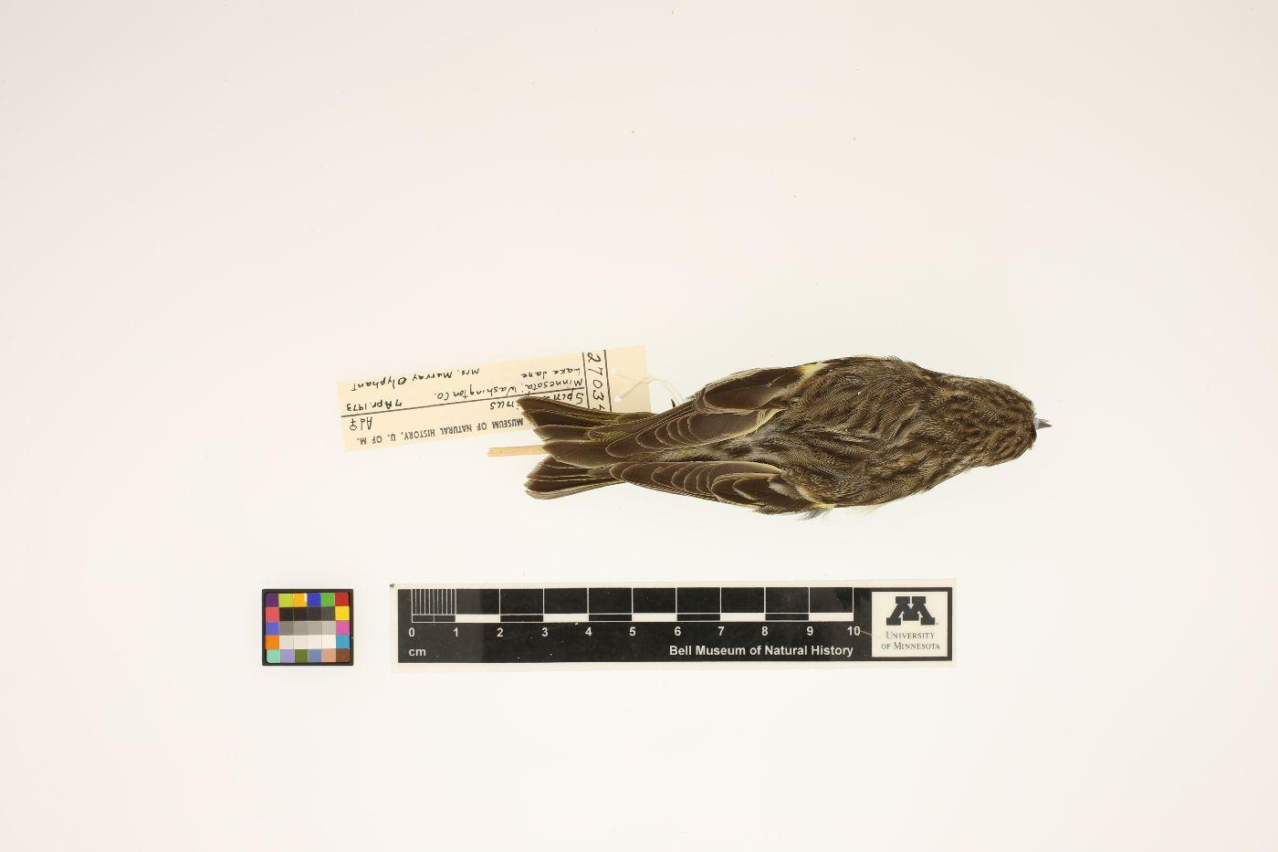 Carduelis pinus image