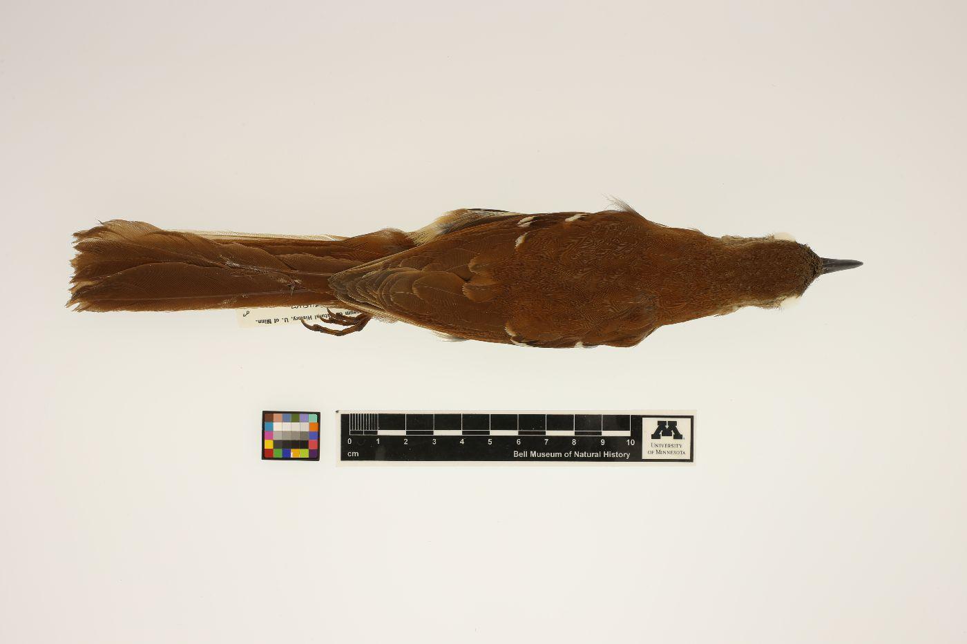 Toxostoma image