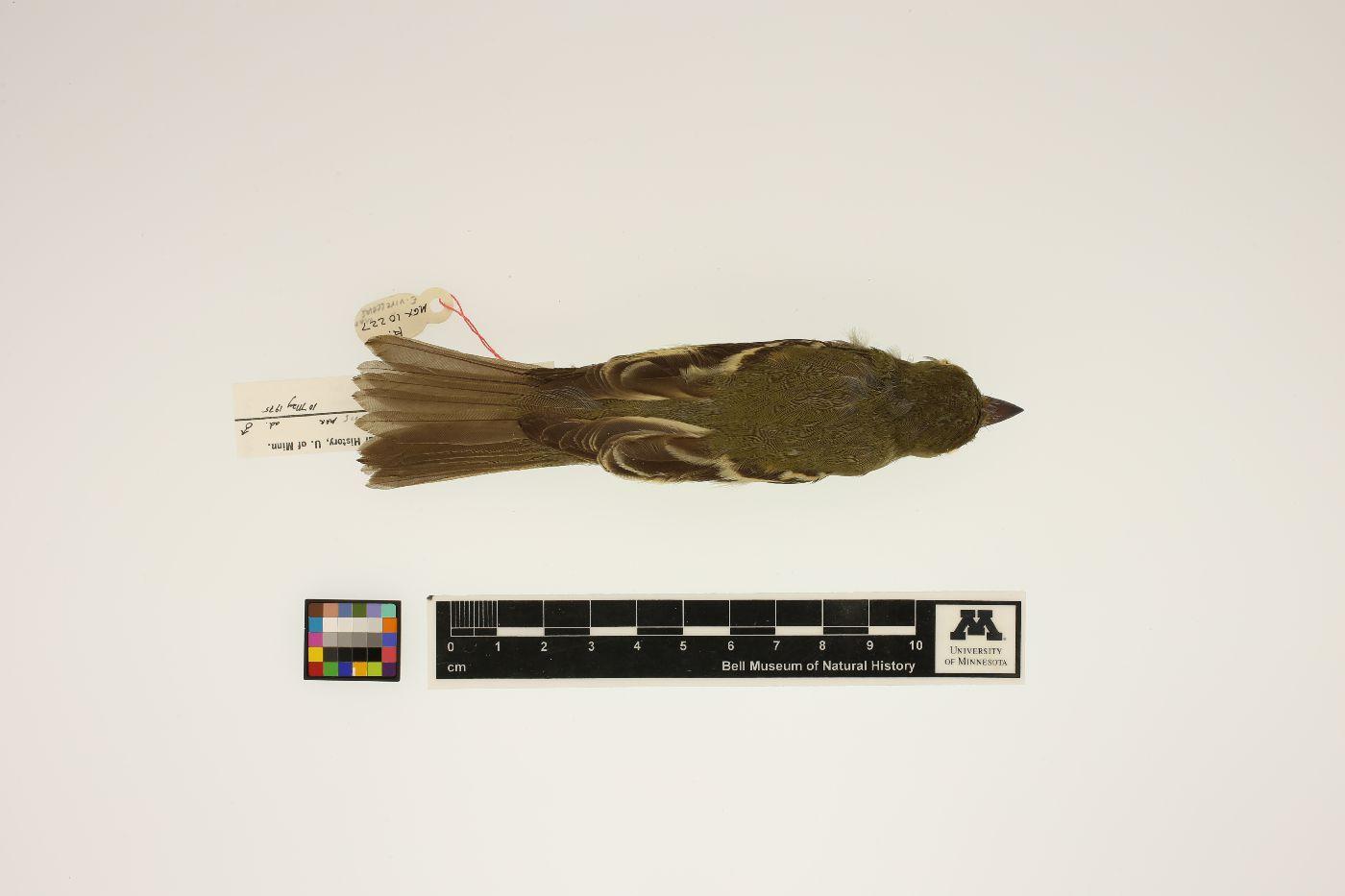Empidonax virescens image