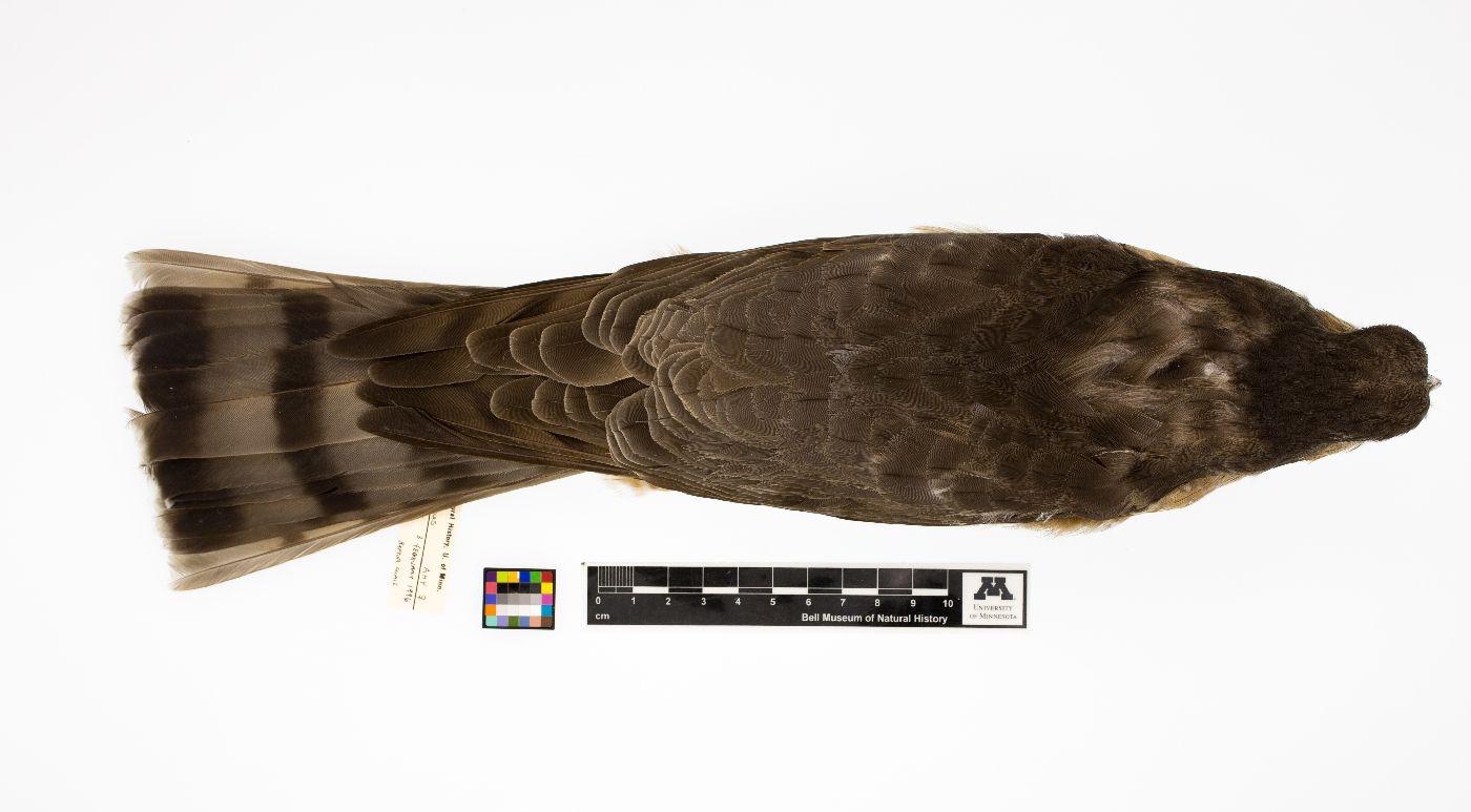 Accipiter striatus image