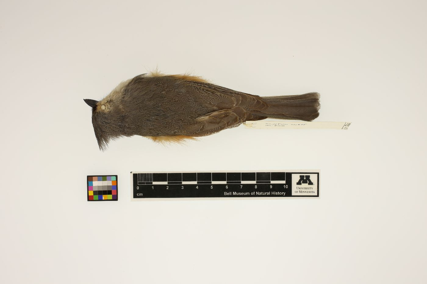 Parus bicolor image