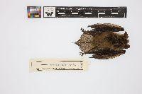 Image of Myotis septentrionalis