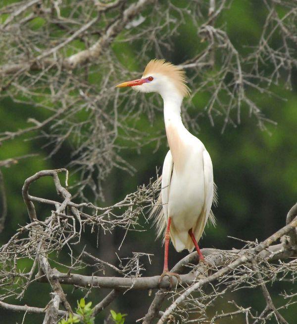 Bubulcus ibis image