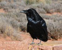 Corvus corax image