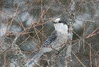 Perisoreus canadensis image