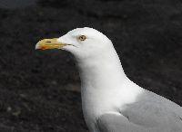 Image of Larus argentatus