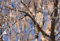 Falco columbarius image