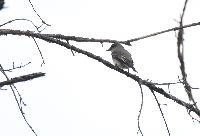 Contopus borealis image
