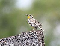 Image of Sturnella neglecta