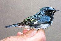 Dendroica caerulescens image
